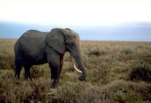 African elephant in Tanzania, Africa.