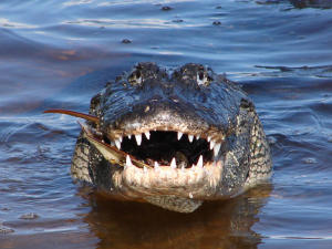 Alligator with open jaws staring straight ahead.