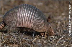 Armadillo foraging