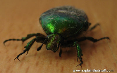 Rose chafer beetle, metallic green, seen from the front.