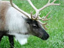 Caribou in closeup
