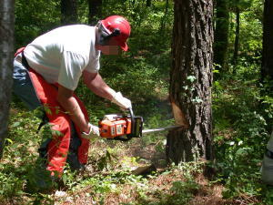 A US FWS worker chops through a small tree with a horizontally held Stihl chainsaw.