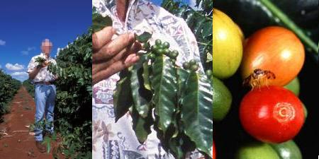 Left: A man walks through a line of coffea trees, inspecting the beans. Middle: A closeup of the green coffee beans growing on coffea trees. Right: Red, yellow, and green coffee beans at different stages of ripening.