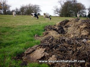 Cows grazing near a pile of cow manure.