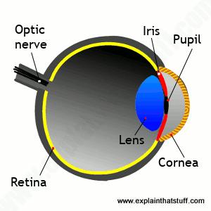 Anatomy of the eye showing iris, cornea, pupil, lens, retina, optic nerve.