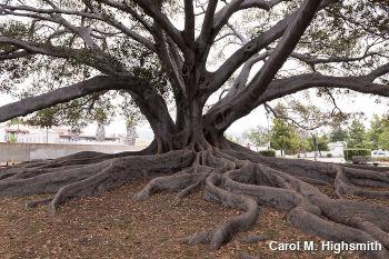 Moreton Bay Fig Tree in Santa Barbara, California by Carol M. Highsmith.