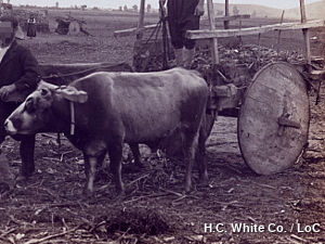 A solid-wheel on a primitive Greek cart drawn by a cow