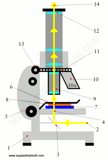 Labelled artwork showing how an optical microscope works