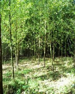 Hybrid cottonwood energy crop.