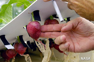Radishes being grown hydroponically in a NASA hydroponic laboratory.