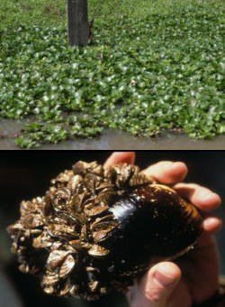 Two invasive species: water hyacinth (Eichhornia crassipes) and zebra mussel (Dreissena polymorpha)