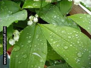 Water droplets on a lily of the valley plant