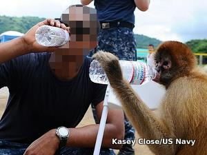 A spider monkey copies a human drinking water.