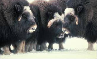 musk oxen on Nunivak Island