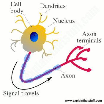 Artwork illustrating the basic structure of a neuron, including the cell body, the dendrites, and the axon.