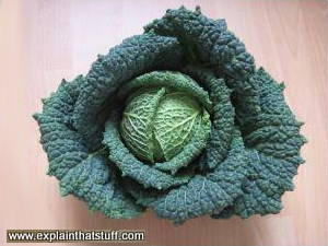 An organically grown cabbage.