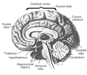 Labeled cross-section of the brain