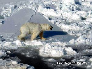 A male polar bear walks across pack ice