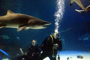 A shark swimming in an aquarium with scuba divers