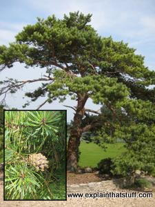 Softwood: A coniferous, evergeen, pine tree with inset photo of pine cones and needles.