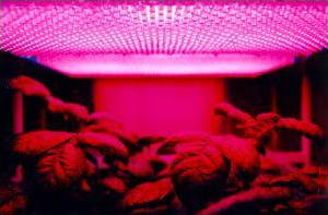LEDs being used to provide light to potatoes growing in space in a NASA experiment