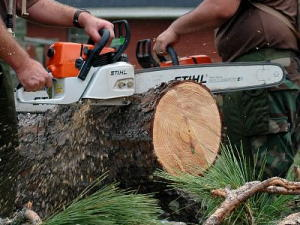 Two men saw through a large tree trunk with Stihl chainsaws.