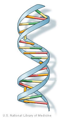 The double-helix structure of DNA