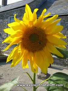 Large yellow sunflower open in front of gray building