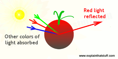 Artwork showing how a red tomato reflects only red light and absorbs light of other colors